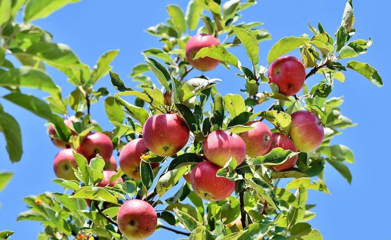 Wann schneide ich meinen Apfelbaum am besten