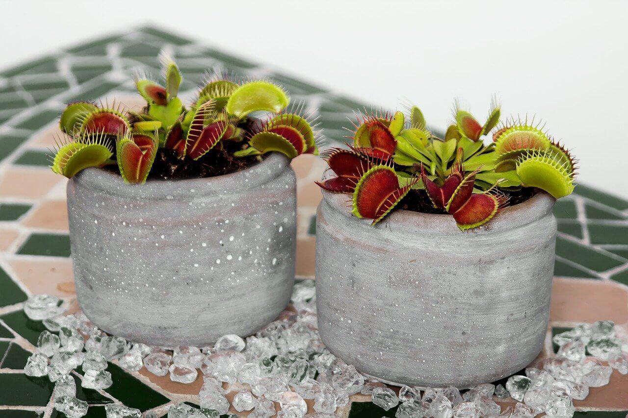 Welche fleischfressenden Pflanzen können in den Garten gepflanzt werden