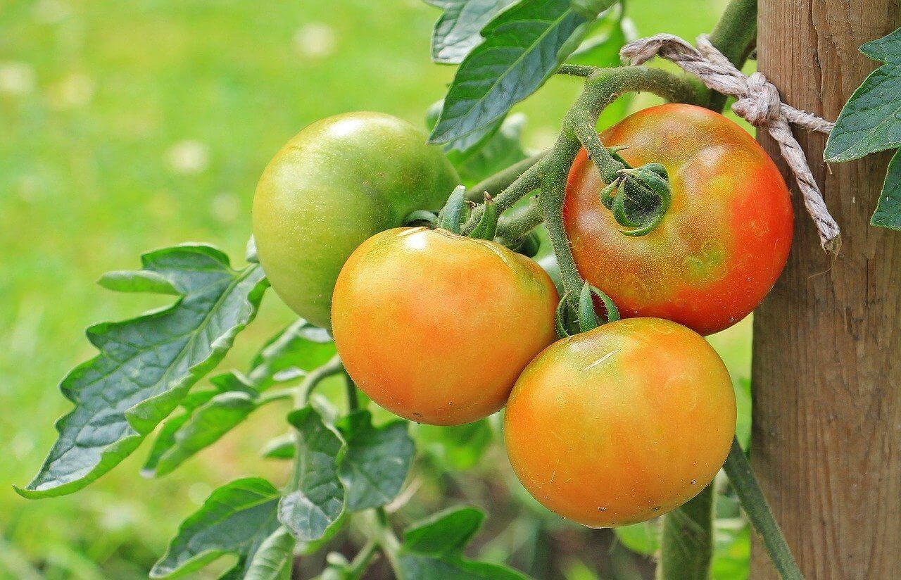 Wie und wann kann man Tomaten am besten pflanzen