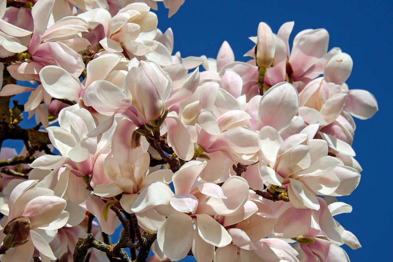 Die Tulpenmagnolie