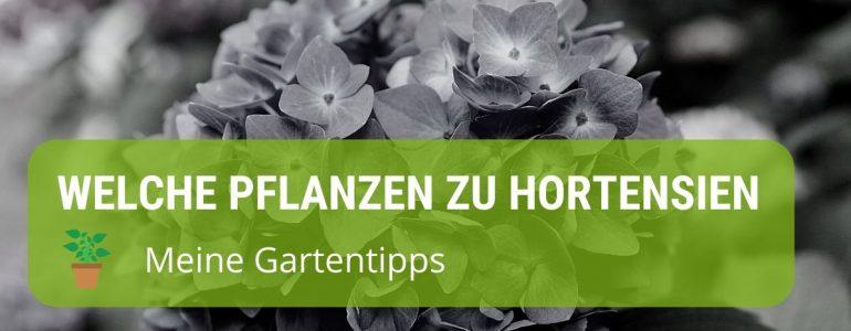 welche pflanzen passen zu hortensien